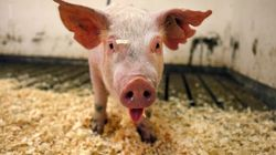 Killing Of 'Enviropigs' Blasted As