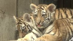 Names For The Male Tiger Cubs At Calgary Zoo; Females Still