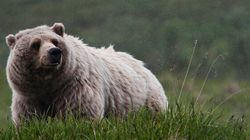 Rare Grizzly Feared