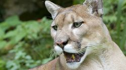 Cougar Attacks Woman In Her