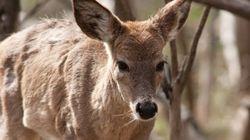 Deer Roughs Up Halifax Coffee