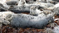 Proposed Seal Slaughter Draws
