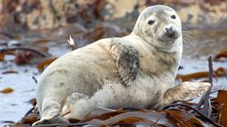 Fisheries Ministry's Own Study Says Seal Slaughter Unlikely To