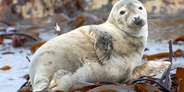 East Coast Seal Cull: Fishery Minister's Own Study Says Little Evidence Slaughters
