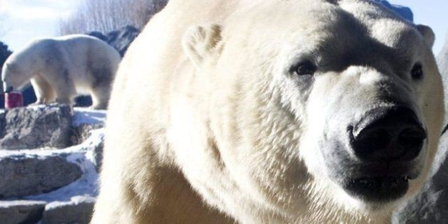 Polar Bear Cubs: Toronto Zoo Trying To Save Pair After Being Rejected By