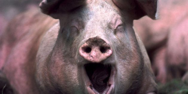A Pig's