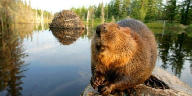 The Beaver As National Symbol: Why Is A Furry Mammal Still An Emblem Of