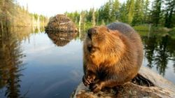 Why The Heck Is The Beaver One Of Our National