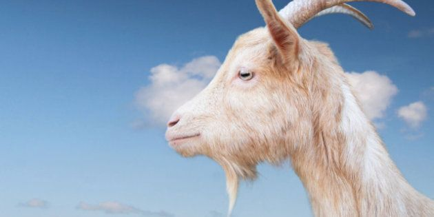 Goat Attacks Woman In Abbotsford,