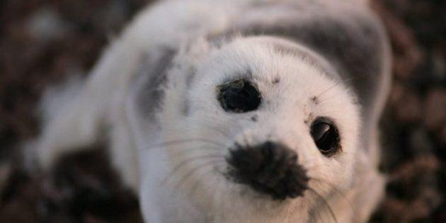 Seal Hunt Canada: Fur Pins, Liberal Senator Mac Harb Says, Won't Revive A Dead