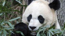 Are Pandas Heading To