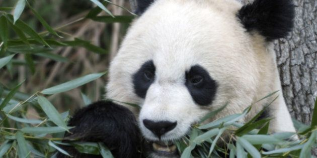 Pandas In Canada: Beloved Bears Could Be Coming To Canadian
