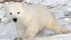 Meet Toronto Zoo's New Polar Bear