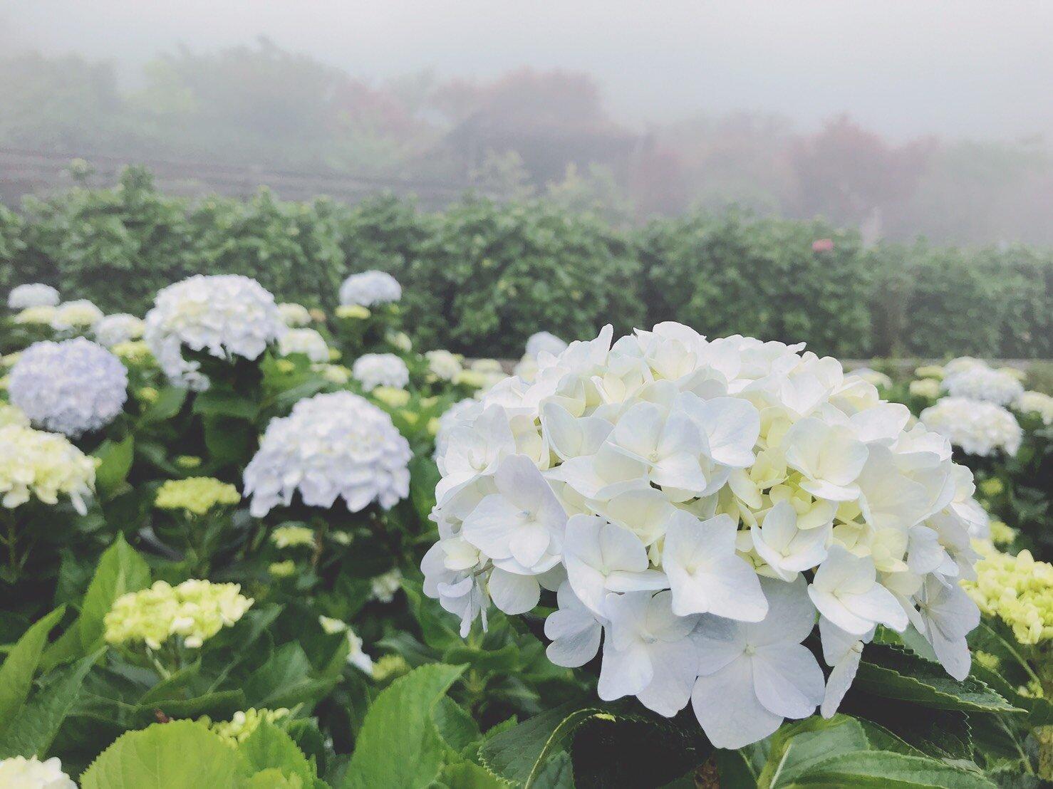 盛開的繡球花超迷人。