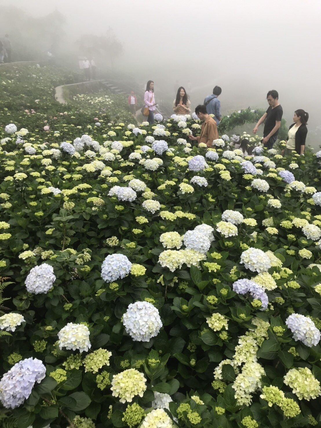 小編5/12實地走訪這天,陽明山起了大霧,但遊客還是開心探訪拍照。