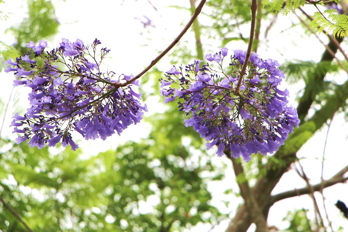 春天開花,花朵著生於枝條,花序密集 (圖片來源:台北市政府工務局)