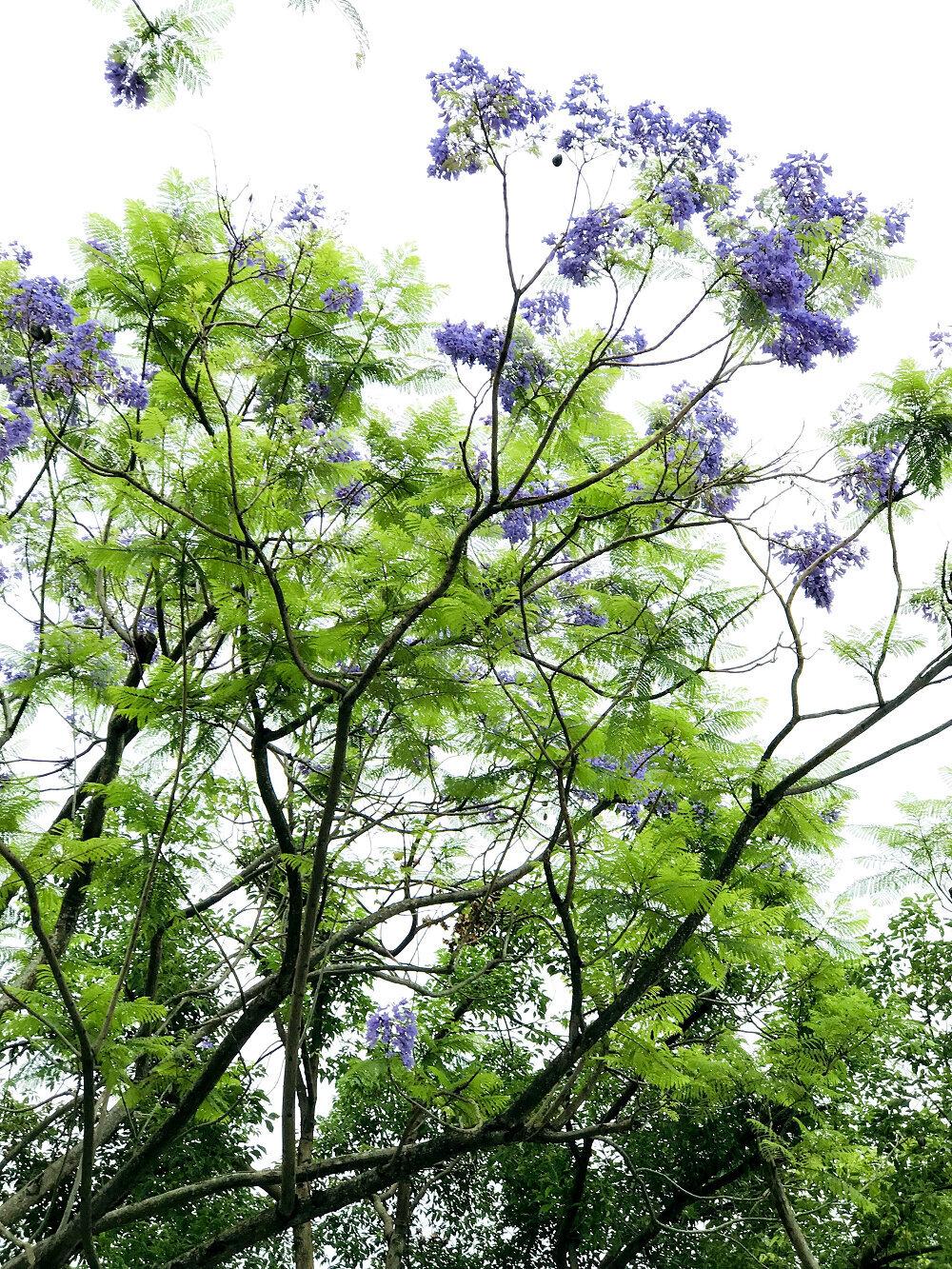 藍花楹高可達15公尺以上 (圖片來源:台北市政府工務局)