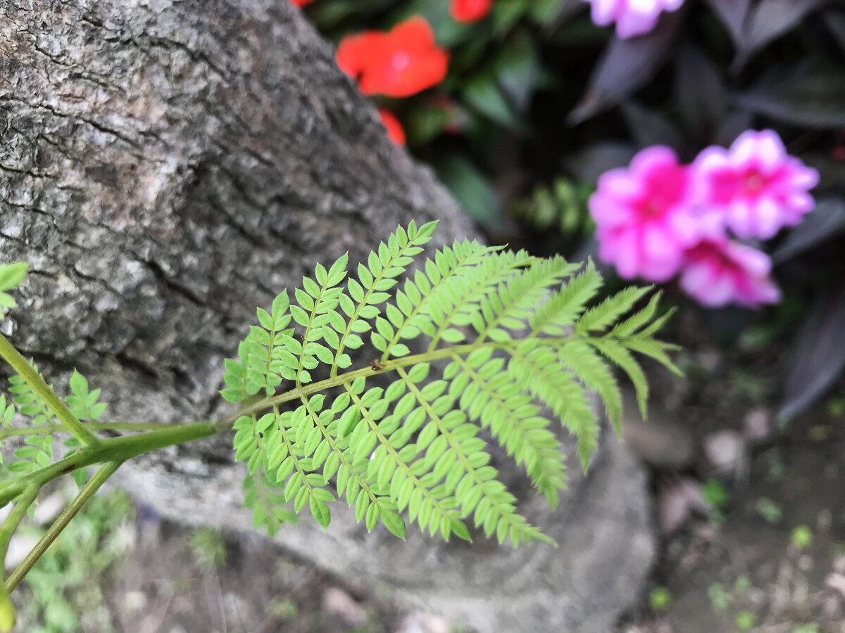 葉子羽狀複葉,小葉長圓形,先端尖銳 (圖片來源:台北市政府工務局)