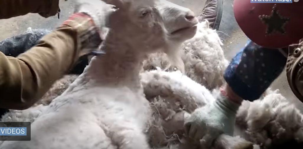 H&M renonce au cachemire après cette vidéo de chèvres