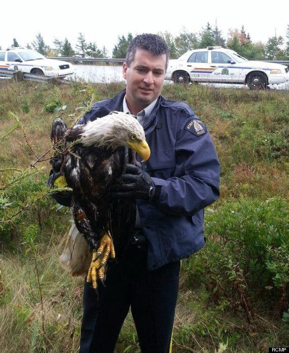 RCMP Rescues Bald Eagle Injured In Nova Scotia
