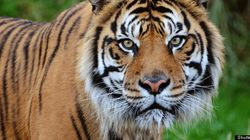 Kellogg Is Killing the Last Sumatran Tigers for