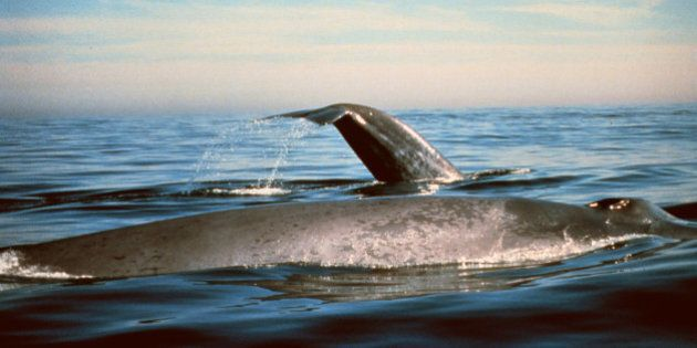 This undated photo provided by the National Oceanic and Atmospheric Administration shows blue whales...