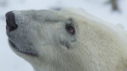 The Polar Bear Capital Of The World Like You've Never Seen It