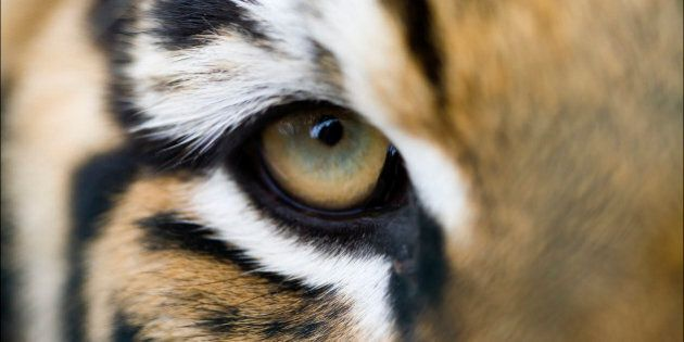 Full frame extreme close up of Bengal tiger eye and stripes