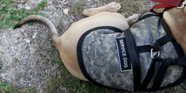 A service dog named Sam rests during a ribbon-cutting ceremony for Companions for Life Training Academy, a Veterans Service Dog Training Program & Facility, at the Jefferson Parish Animal Shelter in Harahan, La., Friday, Sept. 25, 2015. Veterans will learn to train service dogs and to teach other military veterans suffering from PTSD, brain injury or other medical problems how to train their own pets to meet their medical or psychological needs. They will be among the first participants in the program to teach veterans, including those who've never worked with canines, to train their own service dogs: animals coming from shelters. (AP Photo/Gerald Herbert)