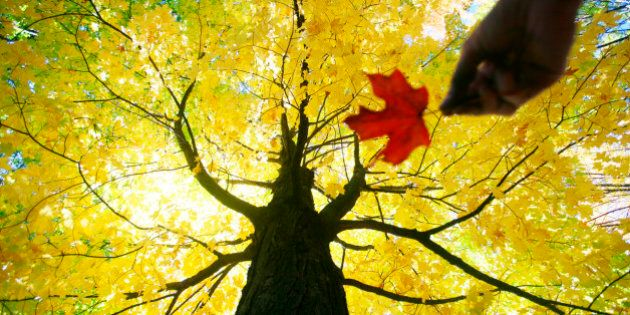 Caucasian woman holding red maple leaf under yellow