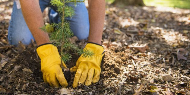 Man planting evergreen