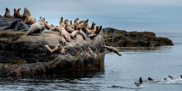 British Columbia, Canada, Central BC coast, Steller sea lions, Eumetopias jubatus,