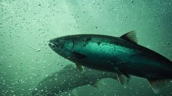 Wild Pacific Salmon Face An Upstream Battle For