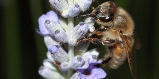honeybee resting on