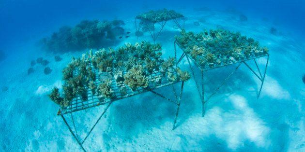 Corals are grown in Lagoon, Aitutaki Atoll, Cook