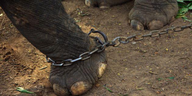 GURUVAYUR, KERALA, INDIA - DECEMBER 03: Indian elephant in the Annakotta Sanctuary with legs in chains,...