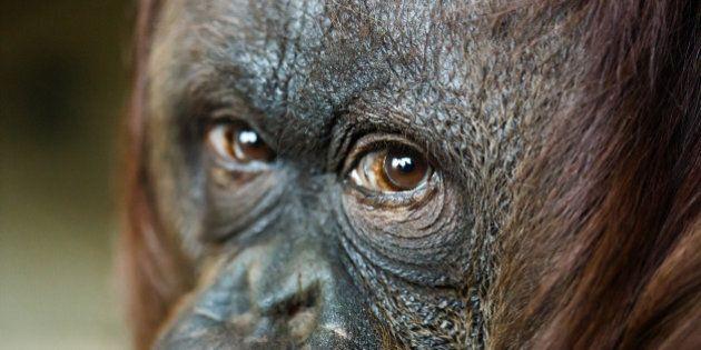 close up headshot of female orangutan. Focus on the