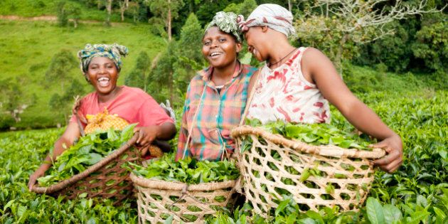 Three African women laugh while they collect green tea leaves in the countryside of
