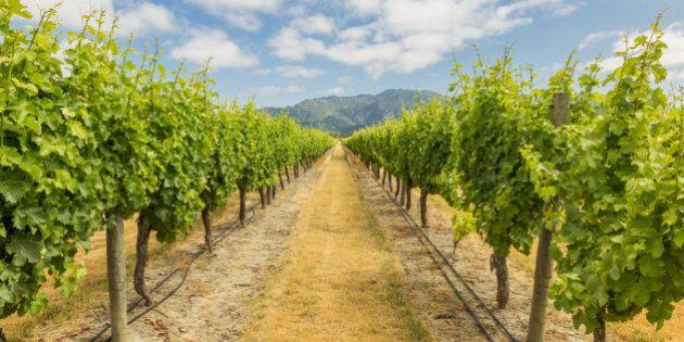 Vineyard in Marlborough, one of the main wine regions in New Zealand