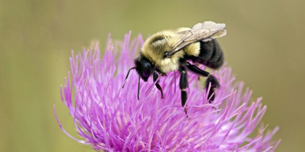 Closeup of Bumble Bee, Bombus bimaculatus, feeding on Canada Thistle, Sleeping Bear Dunes National Lakeshore,...