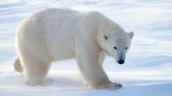 Polar Bear Patrols Keep Bears And Communities