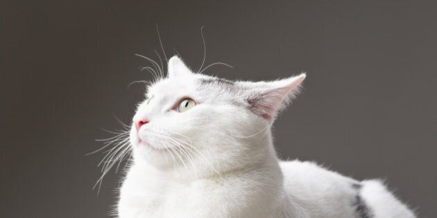 white cat tomcat posing as sphinx in front of camera. he was trying his