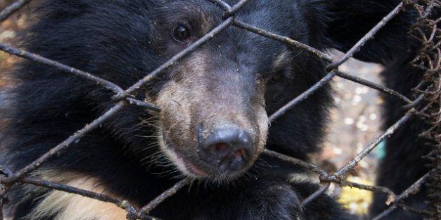 Asiatic black or Moon bear (Ursus thibetanus) Utyos Wildlife Rehabilitation Centre, Kutuzovka Village,...