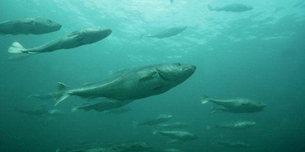 atlantic cod, gadus morhua in a pen newfoundland,