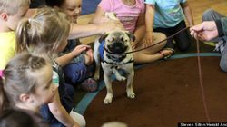 Blind Pug Is An Awesome Therapy