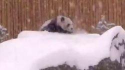 Toronto Zoo Panda Plays In The