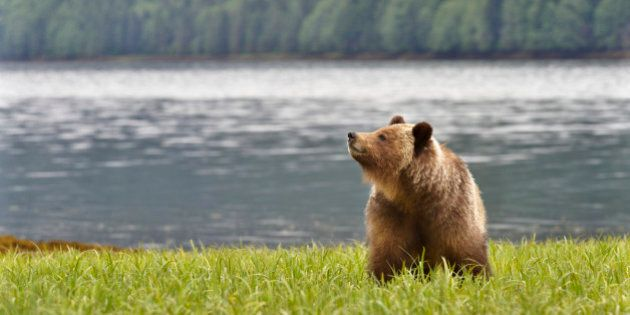Female Brown Bear checking the air for scents while along shoreline of the Khutzeymateen Inlet, Great Bear Rainforest on the northern coast of British Columbia, Canada.