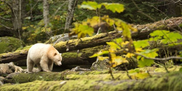 The Kermode Bear (Ursus americanus kermodei) is one of the rarest bears in the world. It is a black bear...