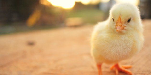 The Poultry Industry Prioritizes Profits Over Animal