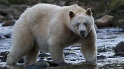 Spirit Bears Are Safe Thanks to Youth